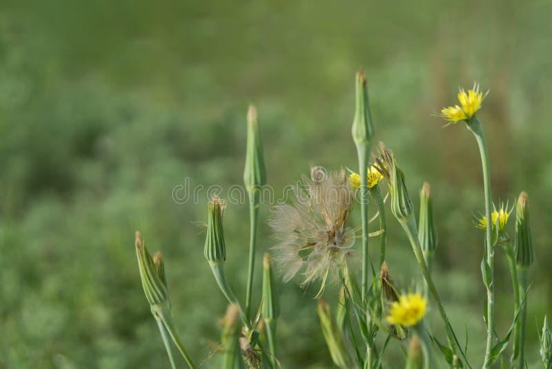Wildflowers del salsifí imagen de archivo libre de regalías