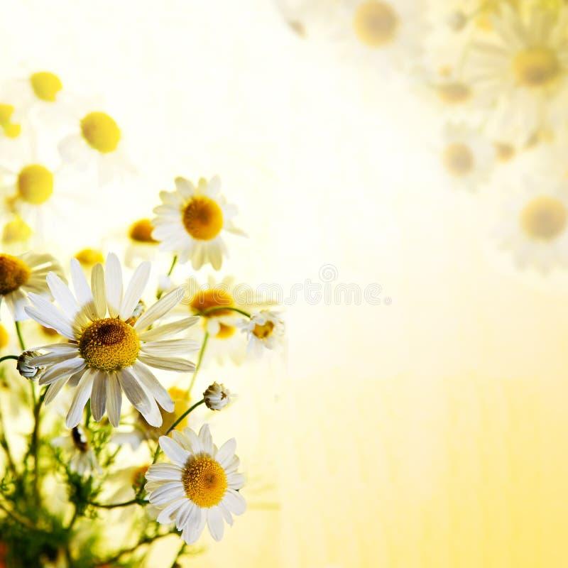 Wildflowers del verano: manzanilla foto de archivo libre de regalías