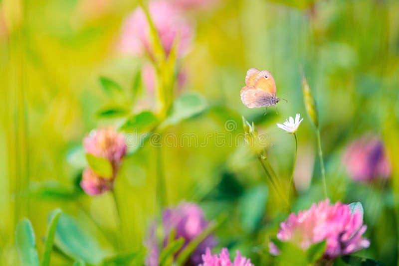 Wildflowers del vuelo del trébol y de la mariposa en prado Fondo del verano Foco suave Macro foto de archivo