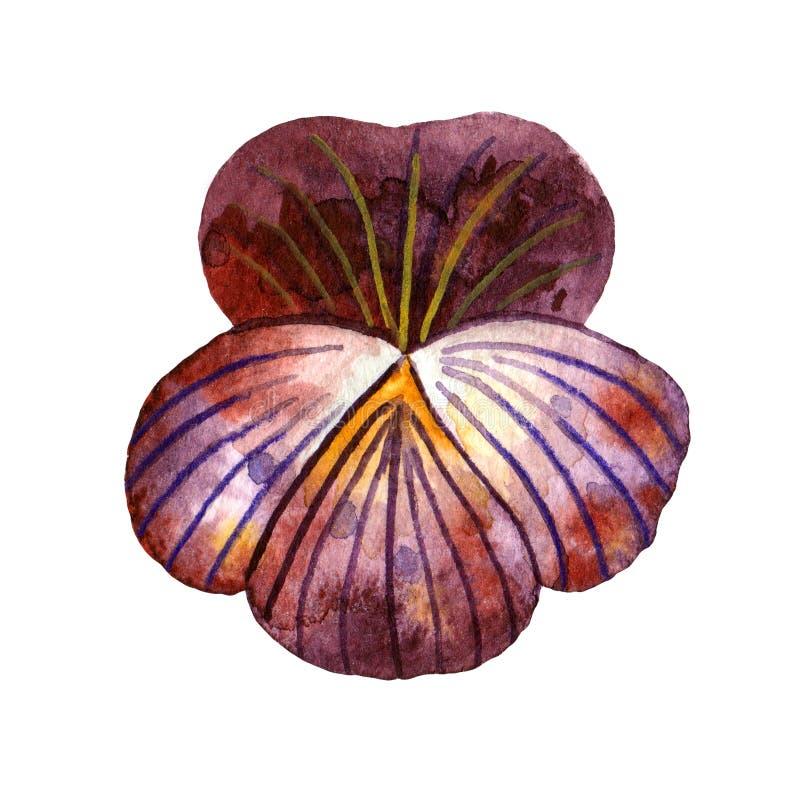 Wildflowers dell'acquerello Flowerhead porpora della pansé illustrazione di stock