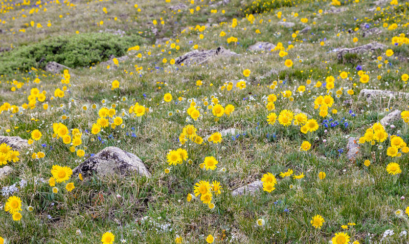 Wildflowers della montagna di Colorado fotografia stock