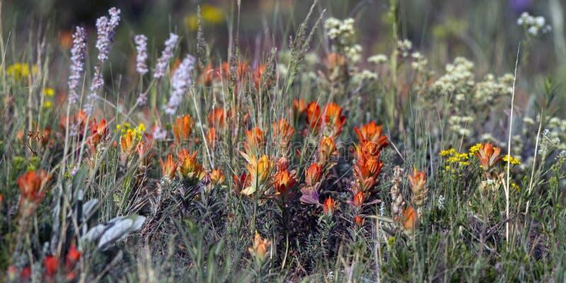 Wildflowers della montagna rocciosa fotografia stock