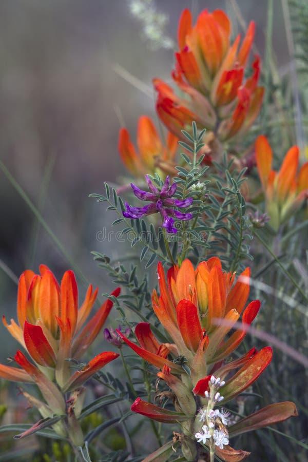 Wildflowers della montagna rocciosa immagini stock libere da diritti