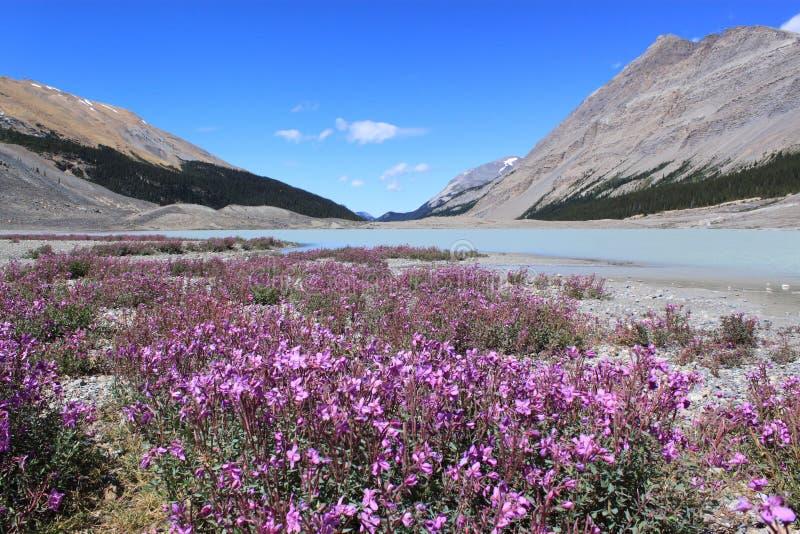 Wildflowers in den Bergen. Jasper National Park, Kanada stockfotos