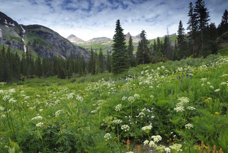 Wildflowers in den San- Juanbergen in Kolorado stockfotografie
