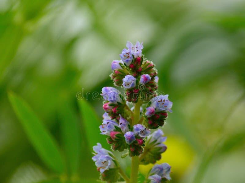 Wildflowers in der vollen Pracht, Echium strictum stockbild