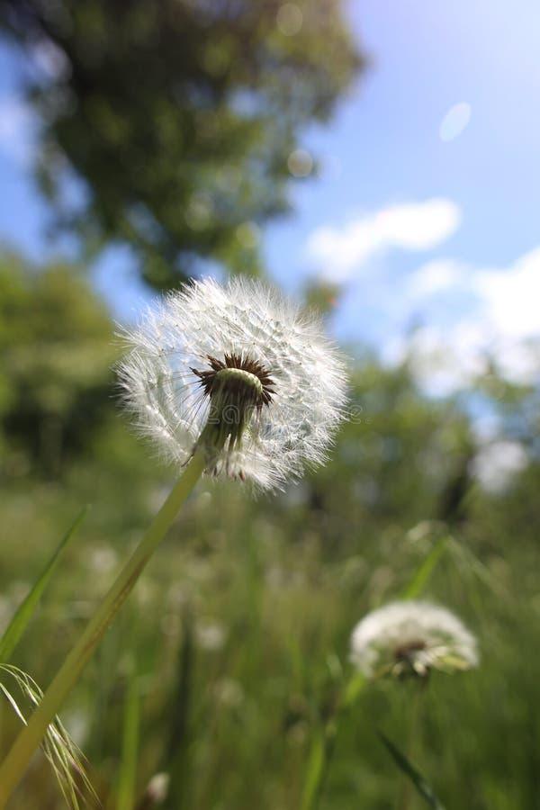 Wildflowers di estate ed insetti verdi, dente di leone bianco, fragole, cartamo porpora, bella botanica immagini stock libere da diritti