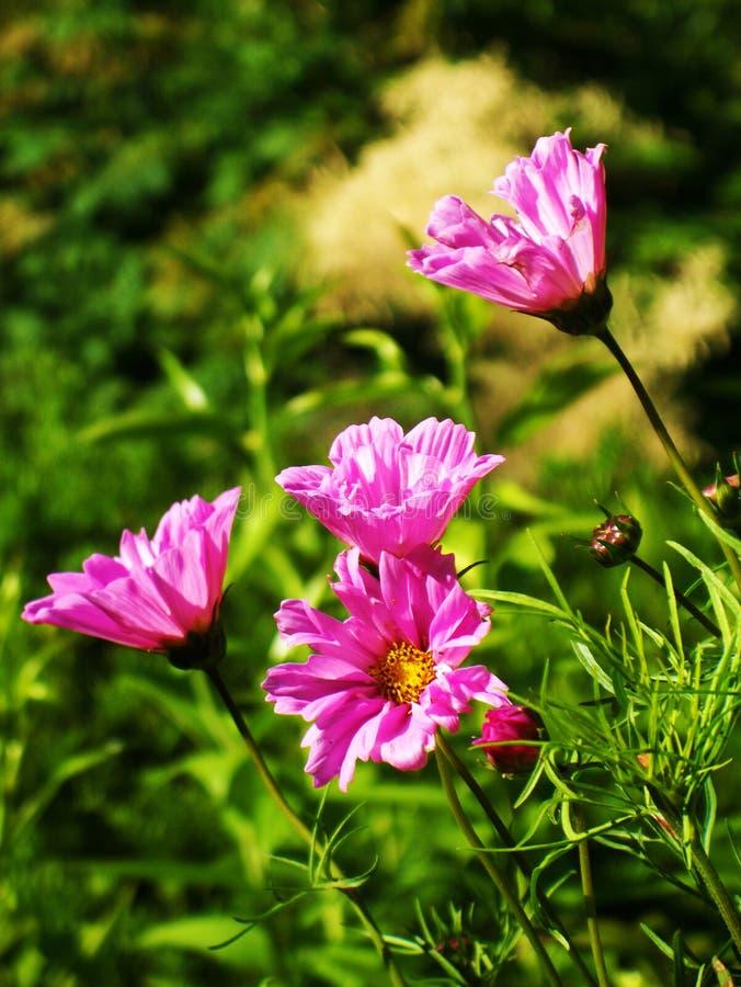 Wildflowers di Grand Canyon immagine stock