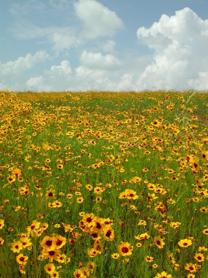 Wildflowers di Okie fotografia stock