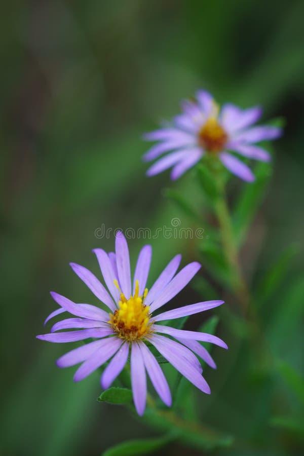 Wildflowers do áster aromático imagens de stock