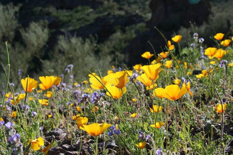 Wildflowers do deserto foto de stock royalty free