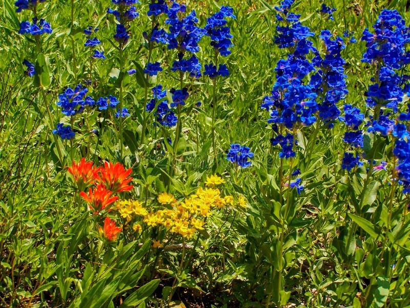 Wildflowers do verão na área do nascer do sol de Wasatch Rocky Mountains Utah foto de stock