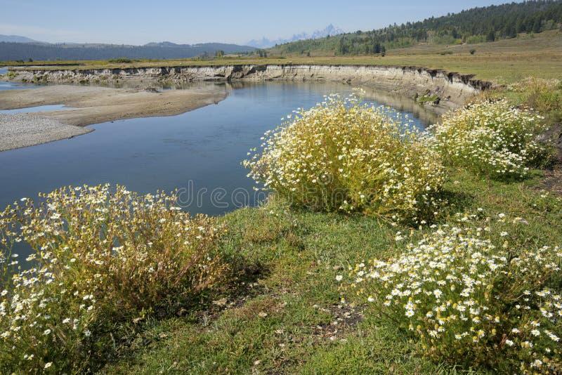Wildflowers do verão no banco do rio da forquilha do búfalo, Moran, Wyoming foto de stock royalty free