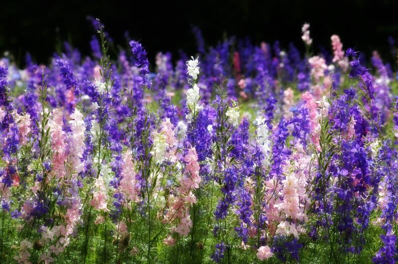 Wildflowers du Texas photos libres de droits