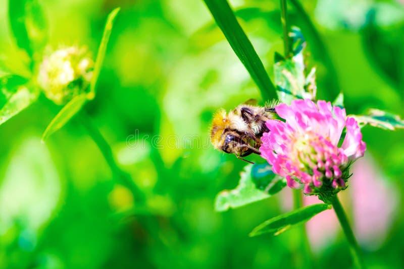 Wildflowers du trèfle et de l'abeille se reposant sur la tête de fleur sur le pré Fond d'?t? Orientation molle Macro image libre de droits