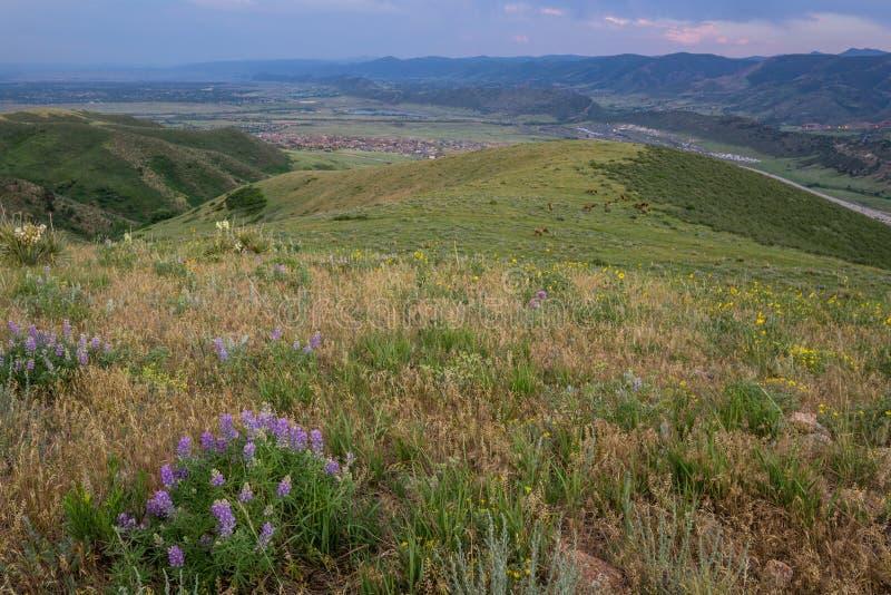 Wildflowers e alces na montanha verde Lakewood, Colorado imagens de stock royalty free