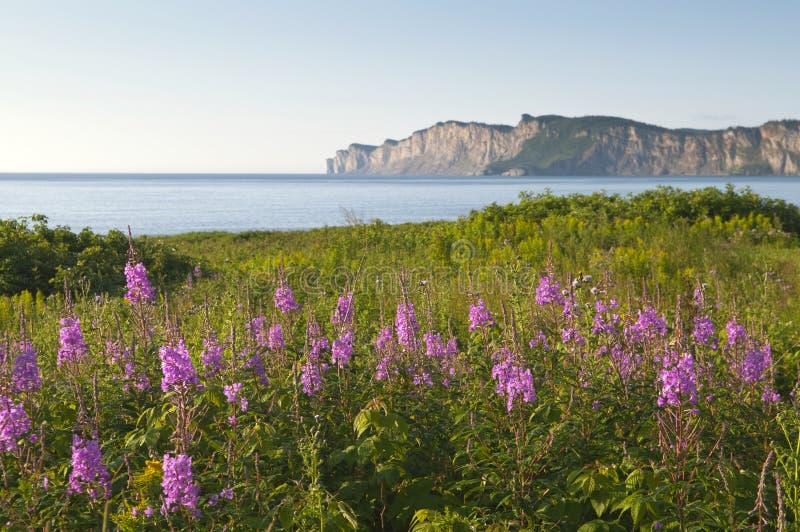 Wildflowers em Gaspe imagens de stock royalty free