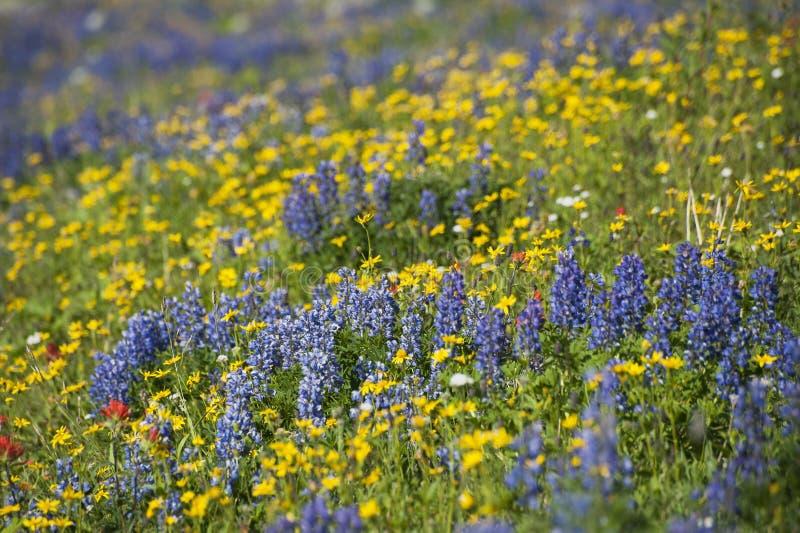 Wildflowers en el Mt panadero fotos de archivo libres de regalías