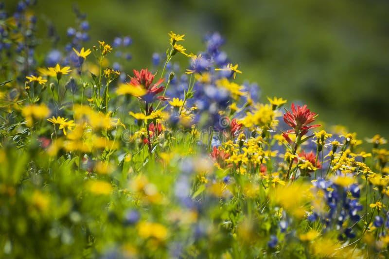 Wildflowers en el Mt panadero imagen de archivo libre de regalías