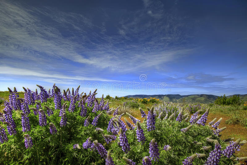 Wildflowers en gorge de Fleuve Columbia photos libres de droits
