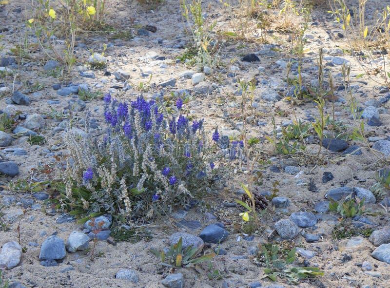 Wildflowers en la orilla del norte del lago Tahoe fotografía de archivo libre de regalías