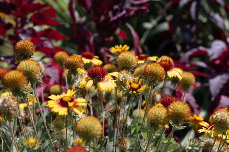 Wildflowers en un fondo del parque verde Las flores amarillas y anaranjadas se cierran para arriba en el parque imagen de archivo libre de regalías