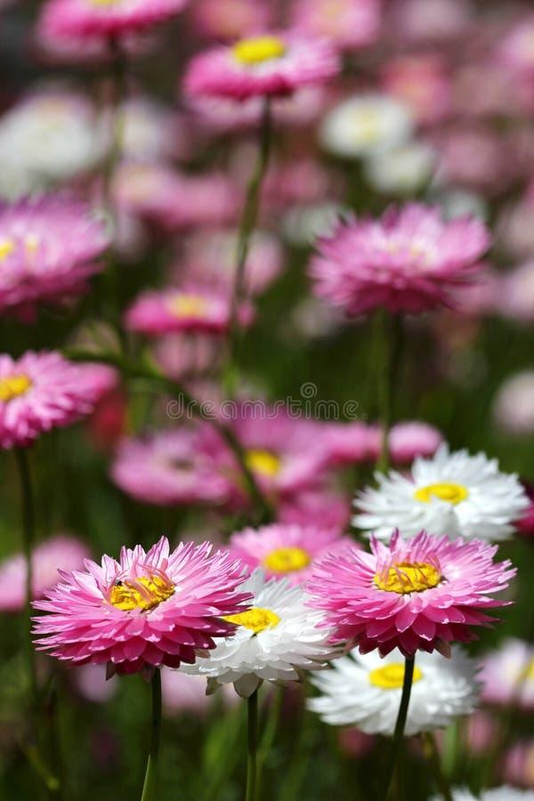 Free Wildflowers - Everlastings Royalty Free Stock Photo - 26665395