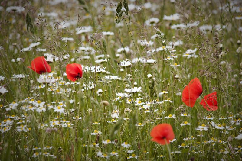 Wildflowers in a field. On a summers day. Poppys grass ect royalty free stock images
