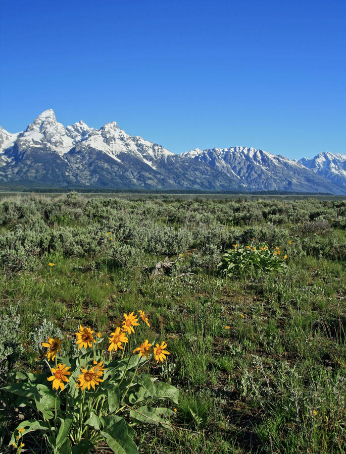 Wildflowers in front of the Grand Tetons mountain range in Wyoming stock image