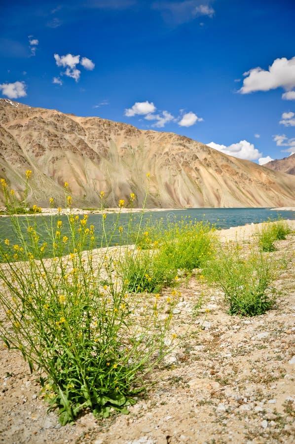 Wildflowers gialli nel lago Bulunkul, Tajikistan immagini stock libere da diritti