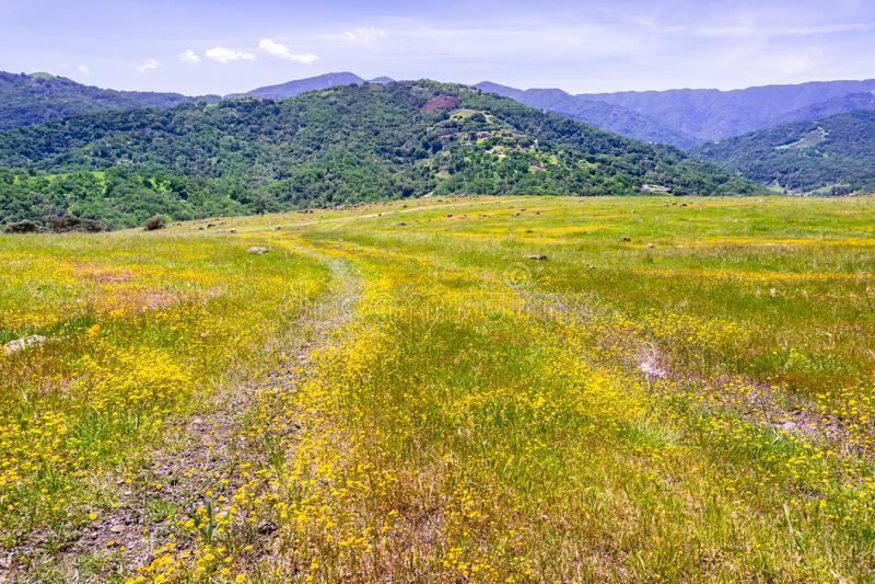 Wildflowers Goldfield που ανθίζουν στον κόλπο του νότιου Σαν Φρανσίσκο  verdant λόφο στοκ εικόνα με δικαίωμα ελεύθερης χρήσης