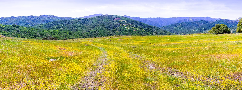 Wildflowers Goldfield που ανθίζουν στον κόλπο του νότιου Σαν Φρανσίσκο  verdant λόφο στοκ εικόνες
