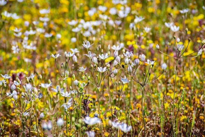 Wildflowers graziosi lilla che fioriscono su un prato, riserva ecologica della Tabella del nord, Oroville, California di lilacina fotografie stock libere da diritti