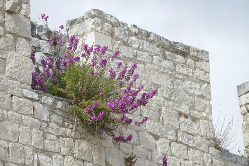 Wildflowers grow from cracks in  walls royalty free stock images