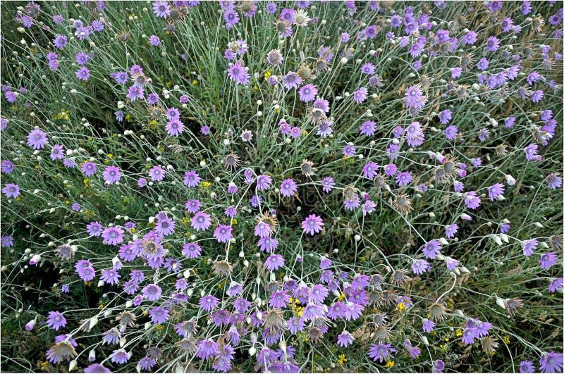 Wildflowers Helichrysum arenarium fotografia royalty free