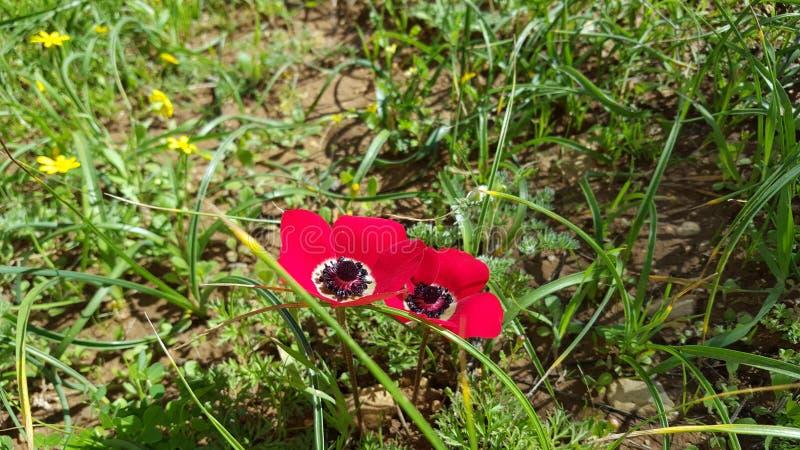 Wildflowers hermosos en Israel imagen de archivo