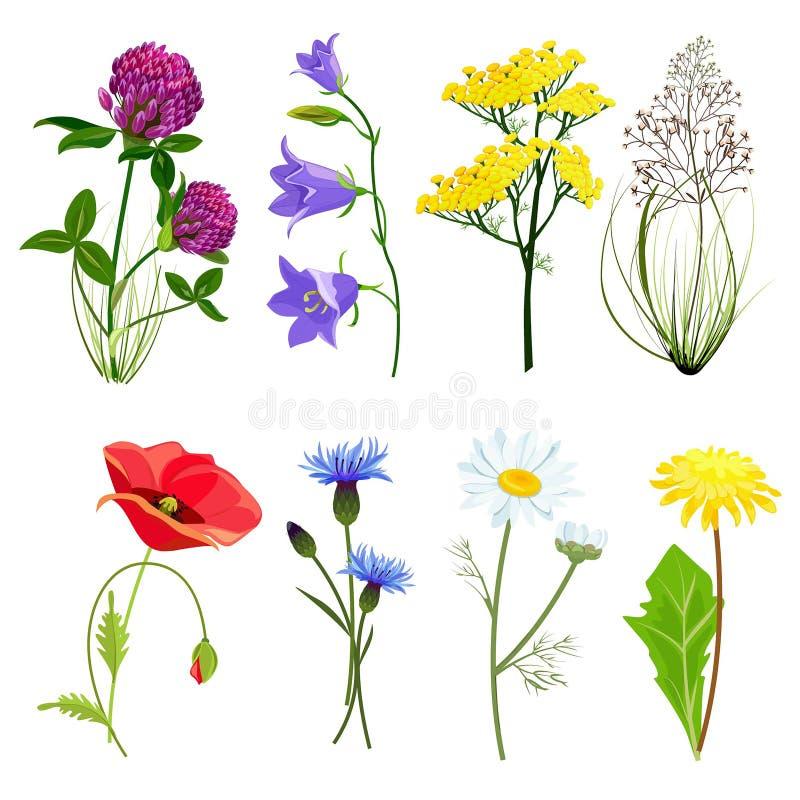 wildflowers i ziele Botaniczny set z anyżową łąkowego jaskieru wektorową kolekcją w kreskówka stylu ilustracji