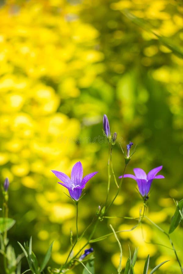 Wildflowers idylliques de pré d'été - campanule photos stock