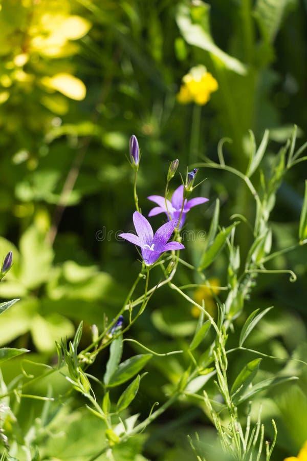 Wildflowers idylliques de pré d'été - campanule photo stock