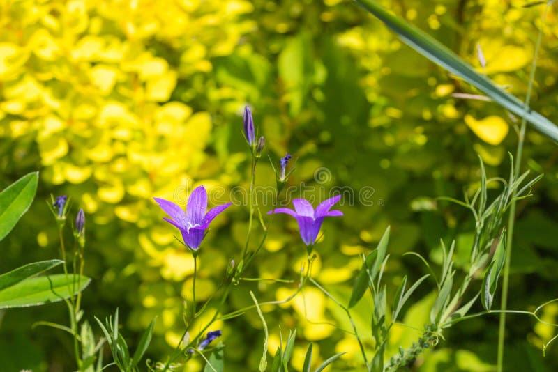 Wildflowers idylliques de pré d'été - campanule image stock