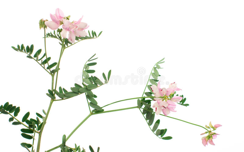 Wildflowers isolated on white background royalty free stock photography