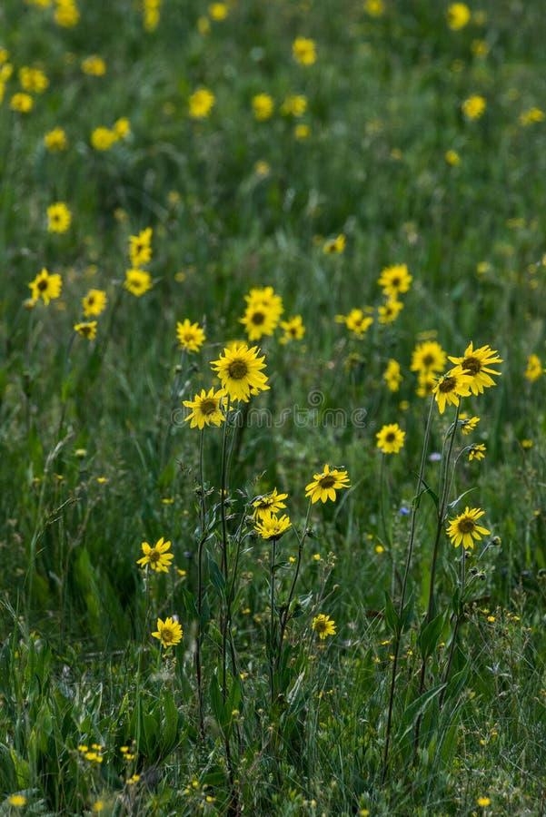 Wildflowers jaunes dans l'herbe verte images stock