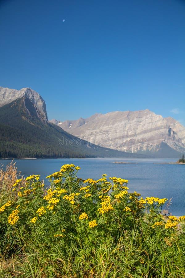 Wildflowers jaunes lumineux, lac supérieur Kananaskis, Peter Lougheed Provincial Park images stock