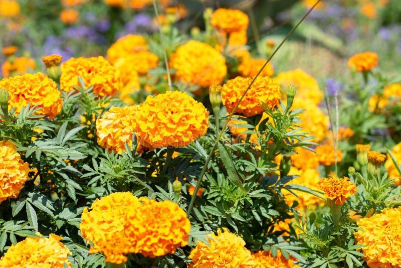 Wildflowers jaunes sur un fond de parc vert Plan rapproché jaune de fleurs en parc photos libres de droits