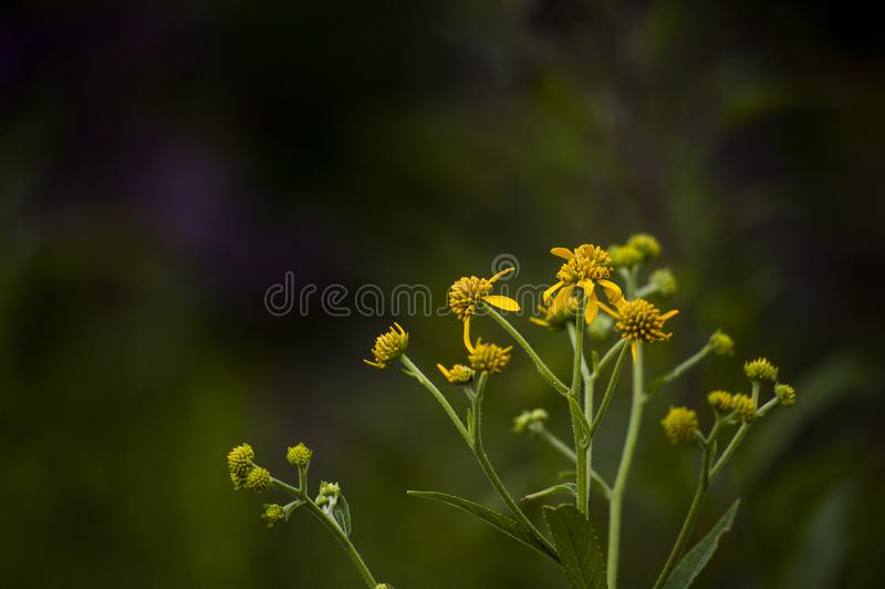 Wildflowers jaunes vibrants - grand os léchez le parc d'état - le Kentucky photo stock