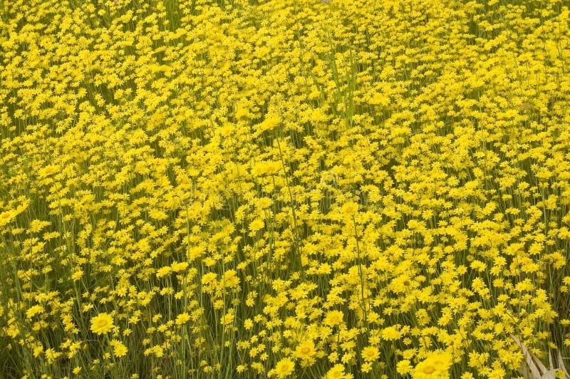 wildflowers kolor żółty obrazy royalty free