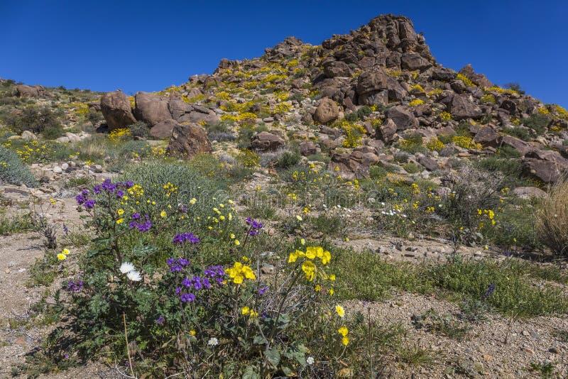 Wildflowers kwitnie w Joshua drzewa parku narodowym - Kalifornia obrazy stock