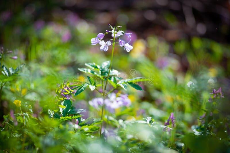 Wildflowers lilas frais parmi l'herbe verte luxuriante photographie stock
