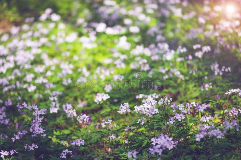 Wildflowers lilas frais parmi l'herbe verte luxuriante photographie stock libre de droits