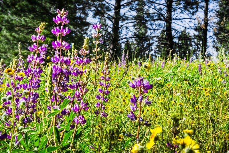 Wildflowers Lupine που ανθίζουν σε ένα λιβάδι, εθνικό πάρκο Yosemite, οροσειρά βουνά της Νεβάδας, Καλιφόρνια στοκ εικόνες